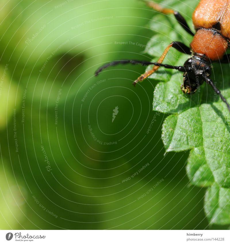 casekäfer Insekt Tier krabbeln klein Natur Zoo Sommer Forstweg Makroaufnahme Wächter Fühler Baum Holz Physis gepanzert Landwirtschaft Biologische Landwirtschaft