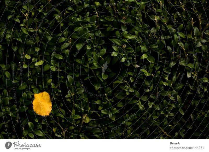Herbst Blatt gelb orange Hecke grün Wand Ecke Fleck gefleckt Farbe Farbstoff Farbfleck Herbstbeginn färben Tod Einsamkeit Herbstlaub Herbstwald mehrfarbig Natur