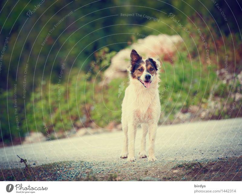 Lauscher Landschaft Sommer Schönes Wetter Straße Haustier Hund Mischling 1 Tier beobachten hören Blick ästhetisch frei Freundlichkeit Gesundheit lustig Neugier