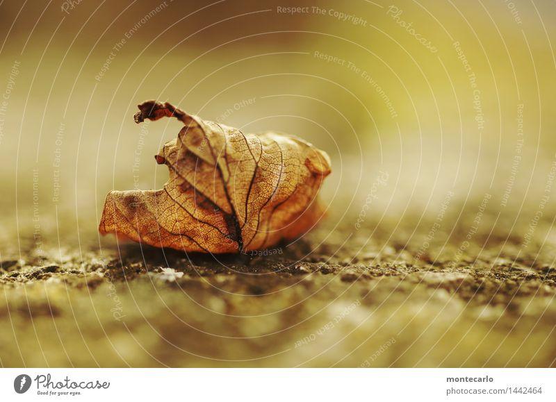 da liegt es Umwelt Natur Pflanze Herbst Blatt Grünpflanze Wildpflanze alt dünn authentisch einfach einzigartig kaputt nah natürlich trist wild weich braun gold