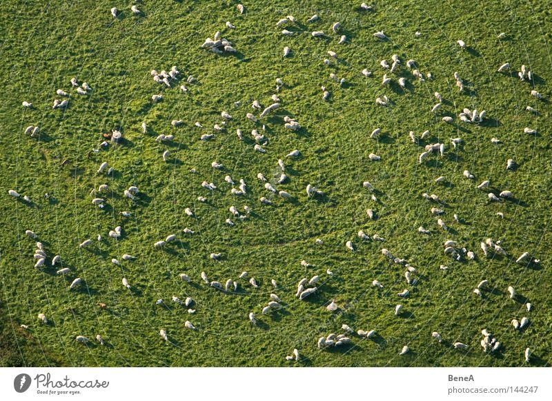 Schafe Natur grün weiß Tier Landschaft Wiese Gras Luftaufnahme Arbeit & Erwerbstätigkeit Feld Lebensmittel Ernährung Landwirtschaft Vogelperspektive Wirtschaft