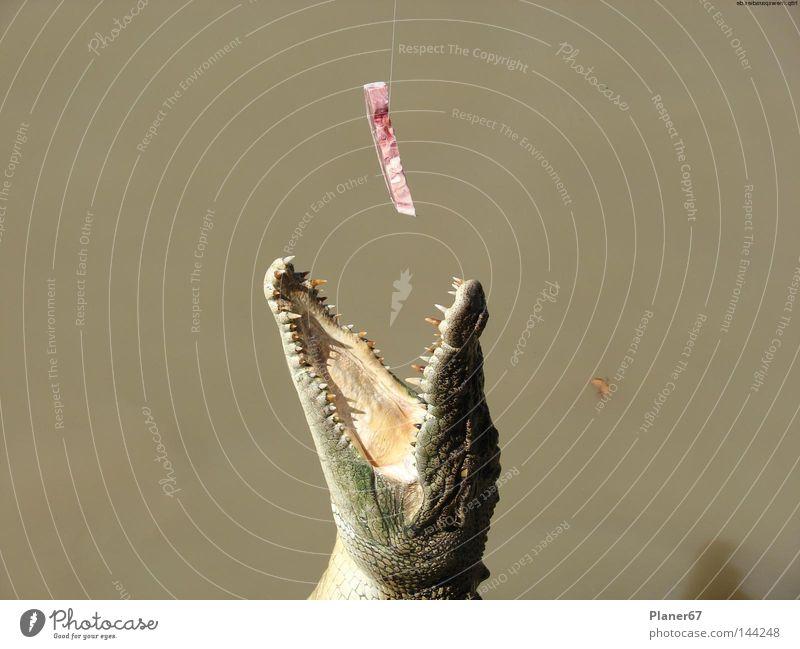 SnapIt Ernährung gefährlich Reptil Appetit & Hunger Fleisch Fressen Australien Echsen füttern Gier Tier gefräßig Krokodil Alligator