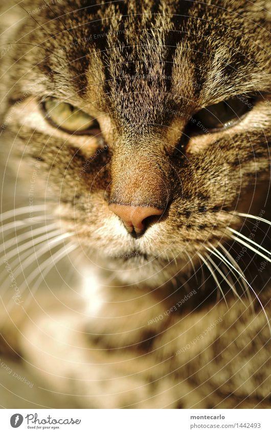 verbissen | ich kann warten Umwelt Natur Tier Haustier Wildtier Katze Tiergesicht 1 Katzenauge Katzenkopf beobachten Erholung liegen Blick dünn authentisch
