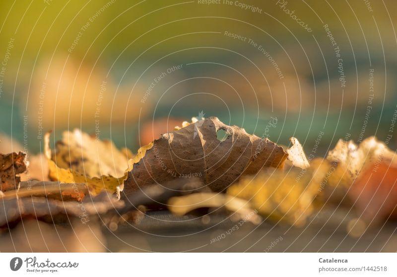 Blatt mit Loch Pflanze Herbst welkes Laub trocken braun gelb gold grau grün orange Vergänglichkeit Wandel & Veränderung Zeit Farbfoto Außenaufnahme Nahaufnahme