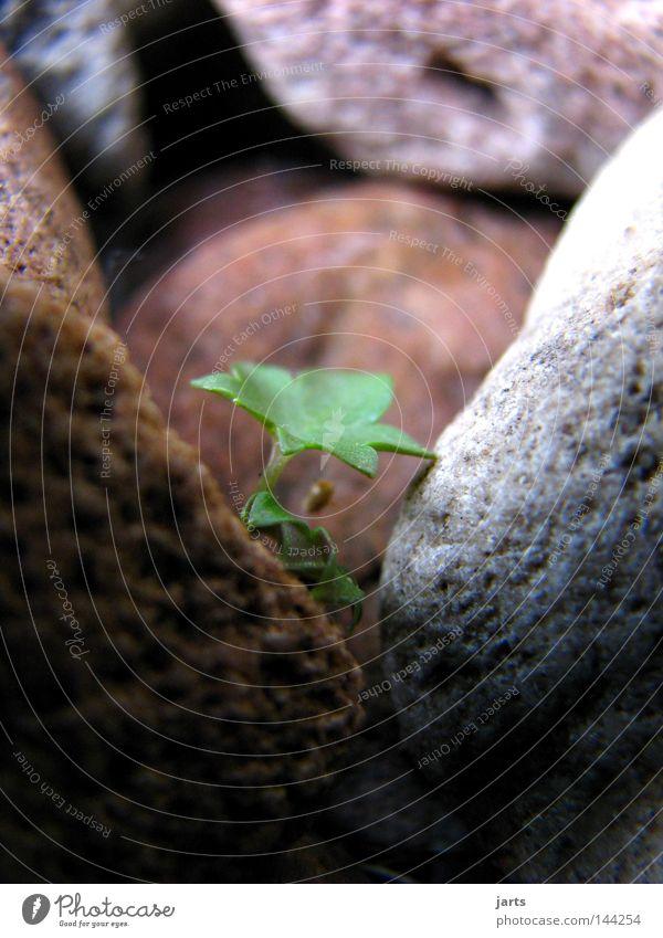 neues leben grün Pflanze Leben Garten Stein Beginn Vergänglichkeit Neuanfang Mineralien Berg-Steinkraut