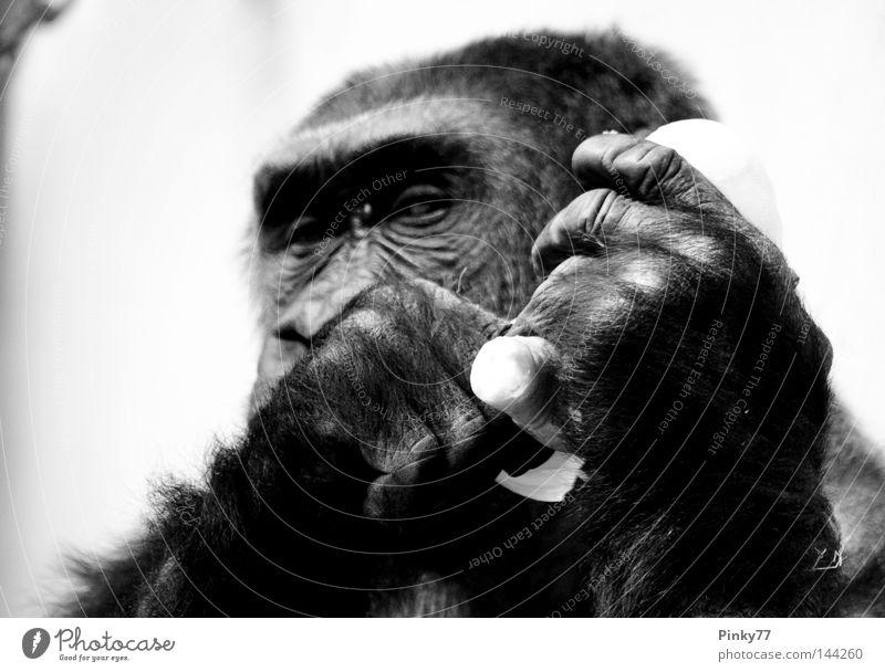 I went to the zoo .. II Tier Affen Gorilla Blick Auge Zoo Tiergarten gefangen Hand gestikulieren Ernährung schwarz weiß Säugetier Schwarzweißfoto Konzentration