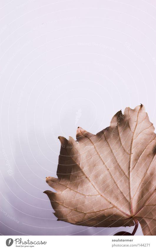 Der Wein stirbt... Natur weiß Blume Blatt Herbst Tod braun Hintergrundbild trist Ende Langeweile vergangen Gefäße Anschnitt