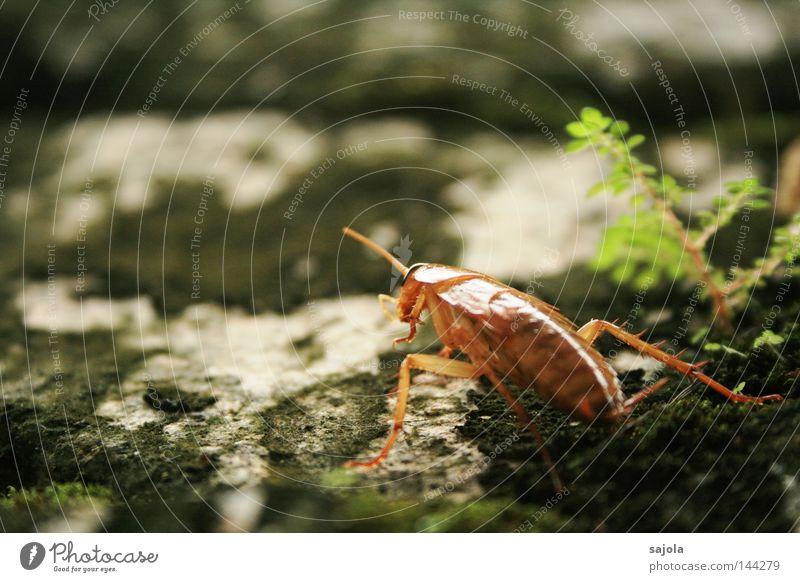 erschöpfte kakerlake Pflanze Tier Erholung Wand Mauer Beine braun warten Pause Insekt Ekel Panik Fühler gepanzert Panzer
