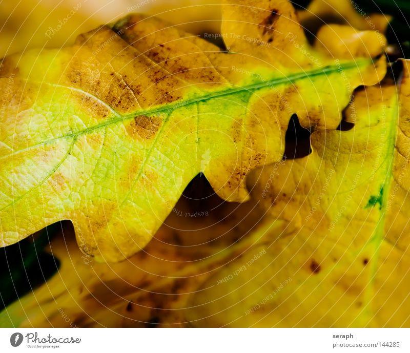 Herbst Blatt Jahreszeiten Eiche Eichenblatt Blattadern Gefäße Färbung braun beige gelb verwandeln Herz-/Kreislauf-System Biomasse ökologisch Umwelt Pflanze Baum