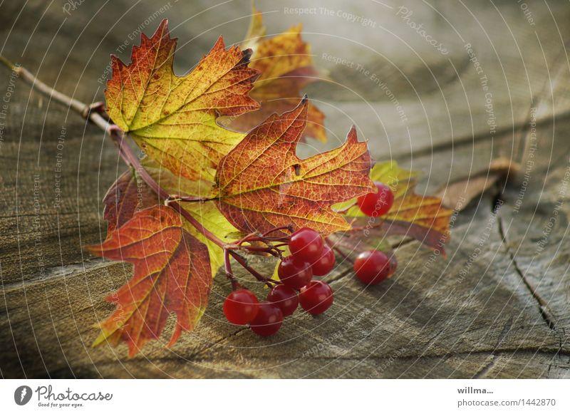 herbstliche Zweigniederlassung Herbst Gemeiner Schneeball Blatt Beeren Beerensträucher Herbstfärbung Baumstumpf Holz grün rot Stillleben Natur Farbfoto