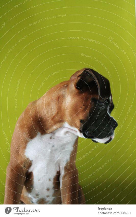Lazy Dog weiß grün schön schwarz Tier Hund braun Mund Nase Ohr Langeweile Fleck Schnauze Vorgesetzter Welpe Königlich