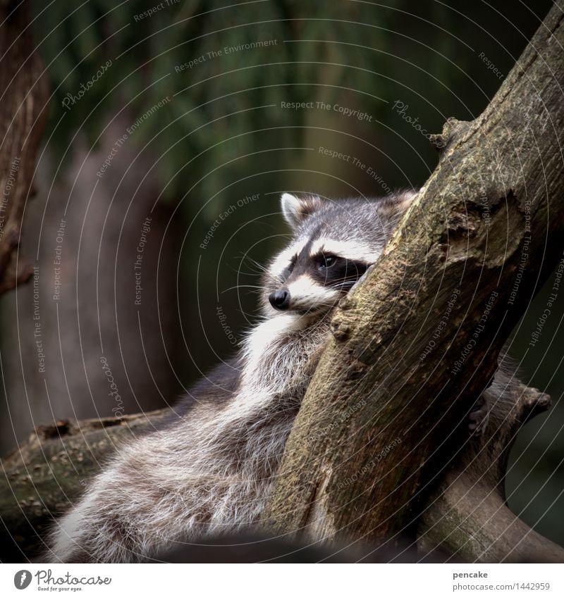 erst ein stündchen hinlegen und dann ins bett! Baum Tier liegen Wildtier authentisch Ast Müdigkeit ausruhend Waschbär