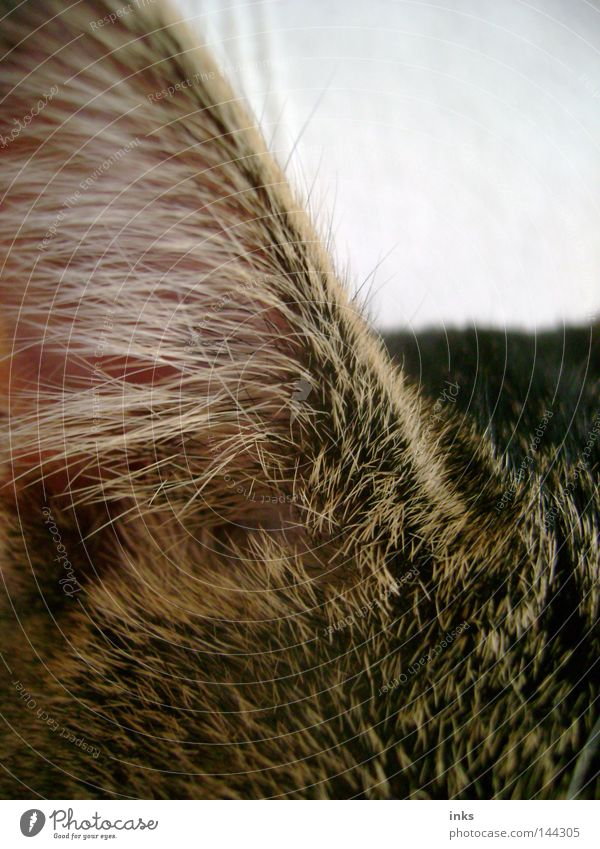 Hörsinn Katze Tier hören Fell grau braun Säugetier Hauskatze Ohr Haare & Frisuren