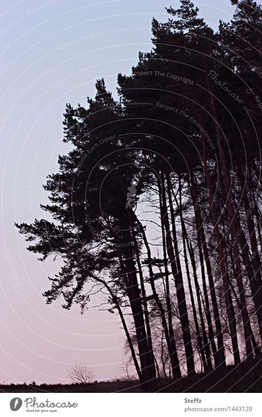 schneeloser Winter im Dezember Kiefern Nadelbäume Baumreihe Silhouette Abenddämmerung dunkel Tristesse trist geheimnisvoll verhext unheimlich
