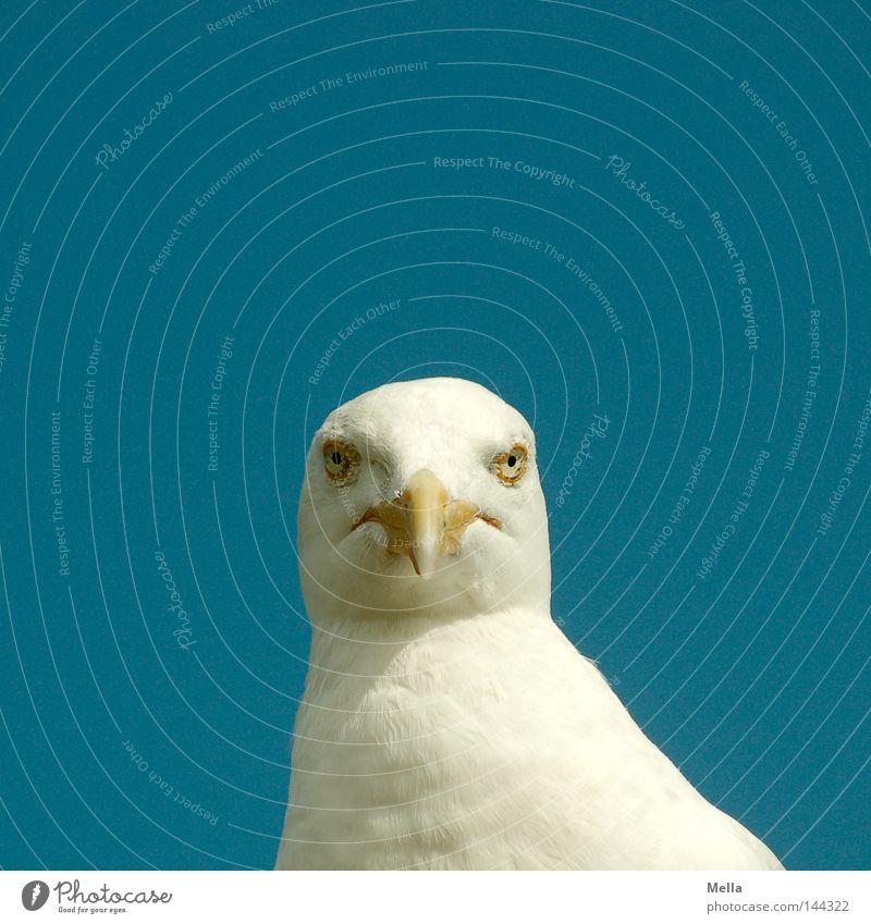 Was guggstu? blau weiß Tier Auge Kopf Vogel Tiergesicht Mitte direkt Möwe Schnabel frontal Silbermöwe