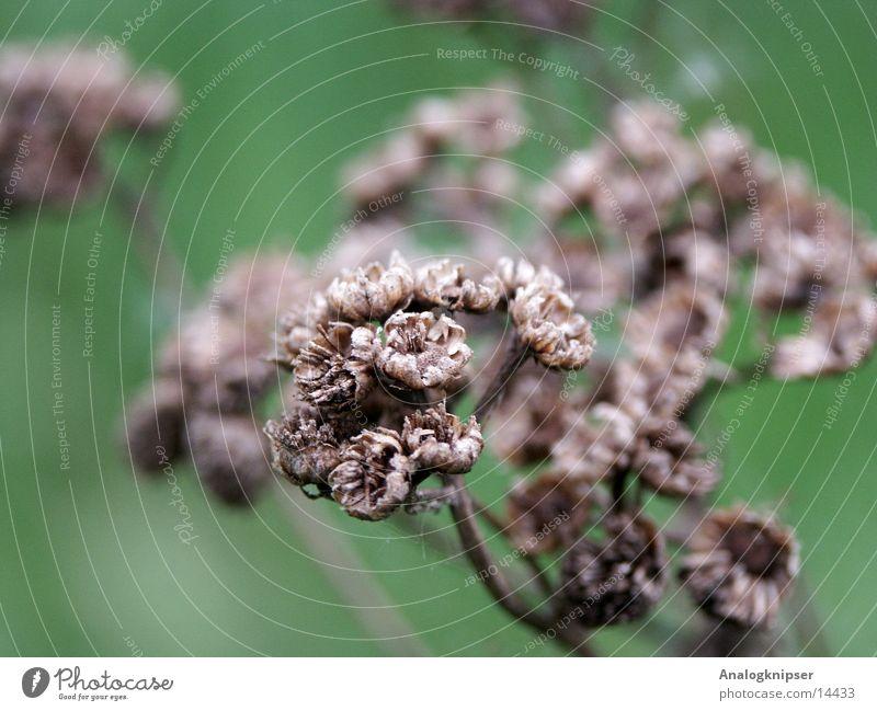 Tote Pflanze ?! trocken braun Tod Tiefenunschärfe grüner Hintergrund Makroaufnahme