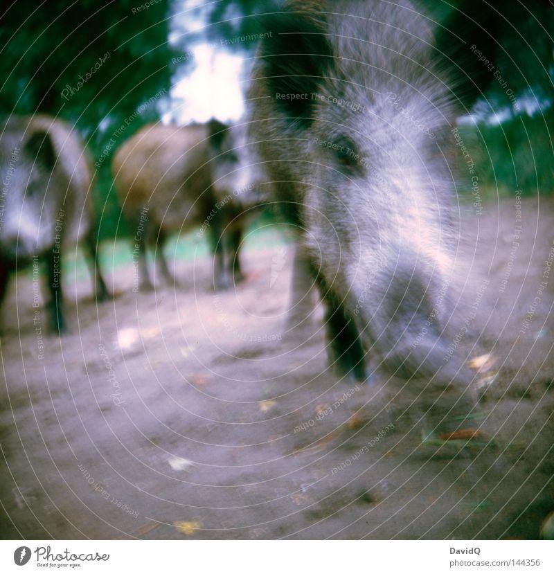 ready to rumble Angriff sozial Fressen Futter Schwein Wildschwein Sau Keiler Eber Tier Wildtier Wald Wiese Waldlichtung laufen Lomografie Säugetier Kraft