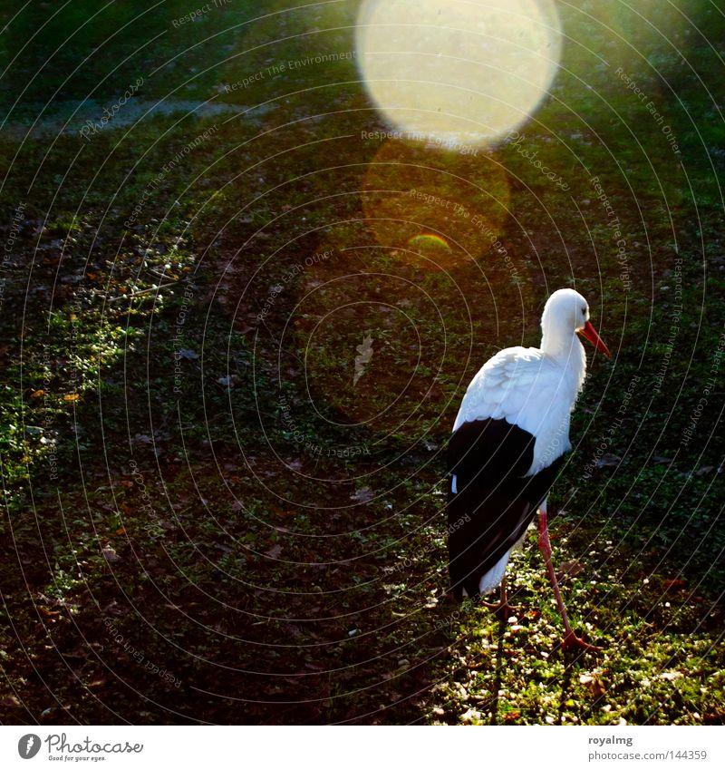 Storch weiß Tier schwarz Vogel Feder Zoo Märchen blenden Storch