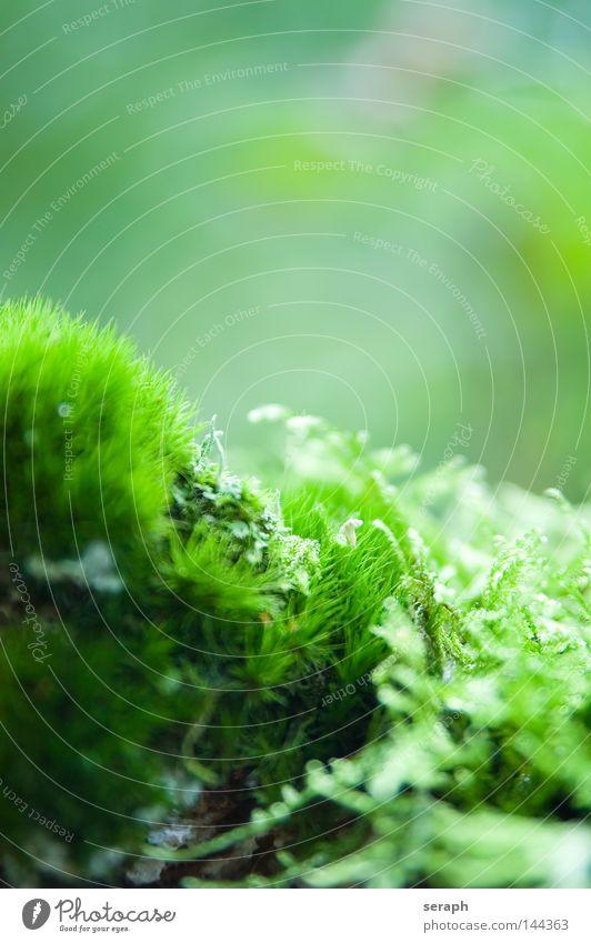 Bryophyta Pflanze grün zart Muster Hintergrundbild Laubmoos Blatt Bodendecker Sporen Umwelt Umweltschutz Symbiose weich Unschärfe dunkel Botanik Licht Nest Moos