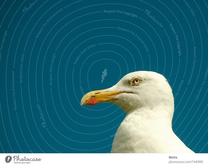 Moin! Himmel Tier Vogel Möwe Silbermöwe 1 Blick Neugier blau weiß Kopf Schnabel Auge streng grimmig Farbfoto Außenaufnahme Menschenleer Textfreiraum links