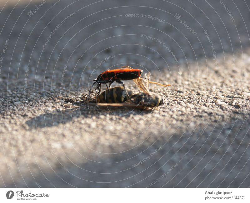 Sundance Kid Sonne Ernährung Tod Fliege Lebensmittel Insekt Käfer Opfer