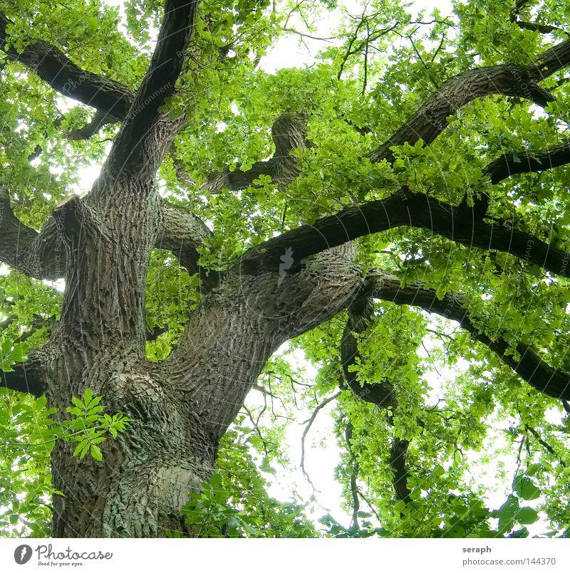 Grünes Netzwerk Natur Baum alt Frühling Kraft Wachstum grün Ast Baumstamm Biologie aufwärts Baumkrone Baumrinde Bildausschnitt Geäst Anschnitt