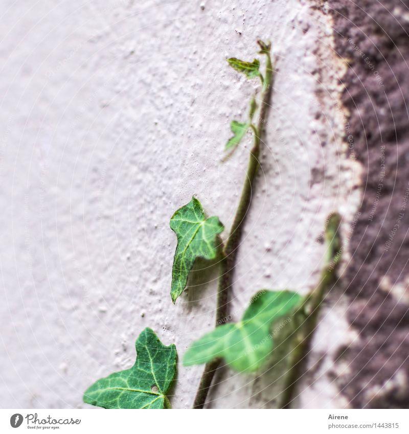 aufstrebend Pflanze grün Farbe Blatt Wand Mauer Stein Fassade rosa Wachstum Beton einfach Klettern Mut Karriere anstrengen