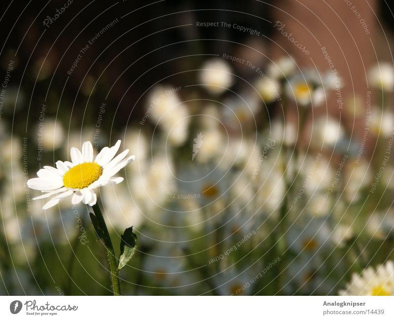 Blümchenzyklus I Sommer Blume Blüte gelb weiß Wiese Gänseblümchen