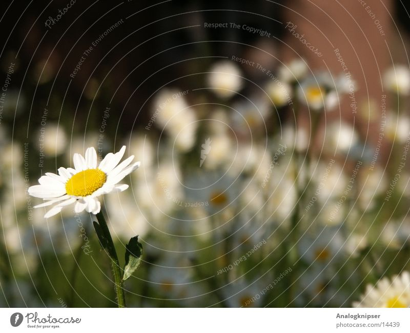 Blümchenzyklus I weiß Blume Sommer gelb Wiese Blüte Gänseblümchen