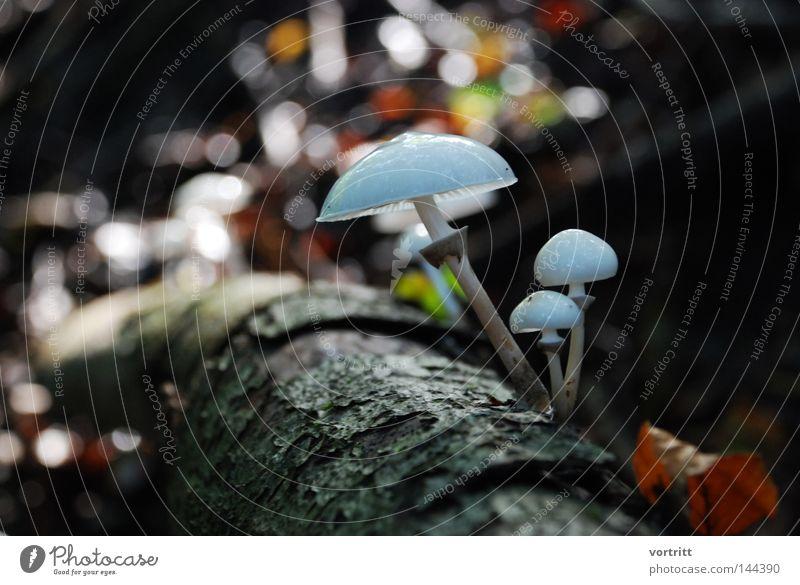 waldbewohner Baum Blatt Wald Ernährung Herbst Tod Holz Beleuchtung Ordnung feucht Baumstamm Pilz Versuch Gift Baumrinde Geäst