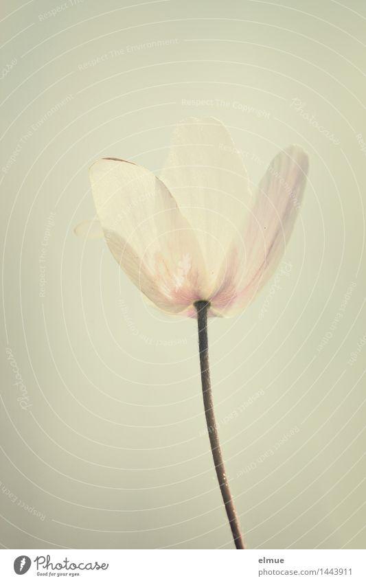Lichtkelch Natur Pflanze schön weiß Blüte Frühling Glück hell rosa Design Wachstum Kraft Energie Blühend Lebensfreude Warmherzigkeit