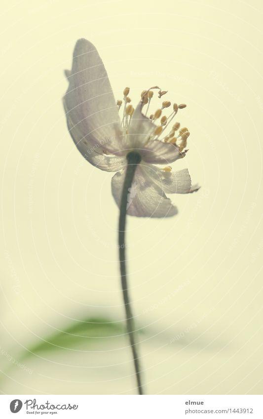 gelbe Stempelfarbe Natur Pflanze Frühling Buschwindröschen Blüte Blütenstempel Fortpflanzung kaputt Erotik Frühlingsgefühle träumen Liebeskummer Beginn