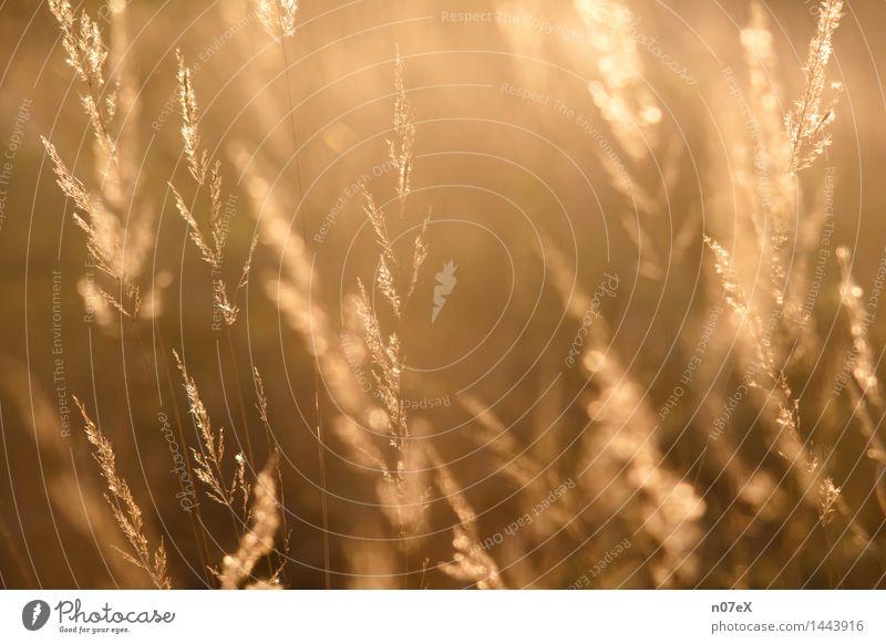 Gräser im Gegenlicht Natur Pflanze Sommer Erholung rot ruhig gelb Gras Gesundheit Freiheit braun Stimmung orange träumen Zufriedenheit gold