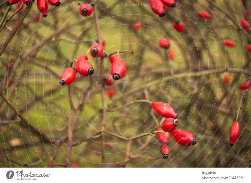hagebuttenrot Pflanze Sträucher Hagebutten Zweig Garten Park hängen tragen natürlich trocken braun grün Stimmung beweglich Leben einzigartig Oval reif
