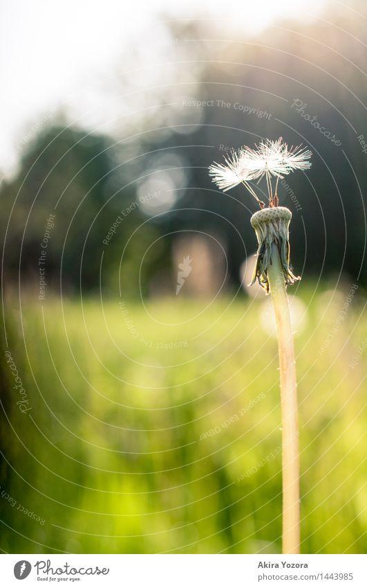 Startklar Natur Pflanze Sonnenlicht Sommer Schönes Wetter Blume Löwenzahn Wiese berühren leuchten stehen Zusammensein natürlich Wärme gelb grün schwarz weiß
