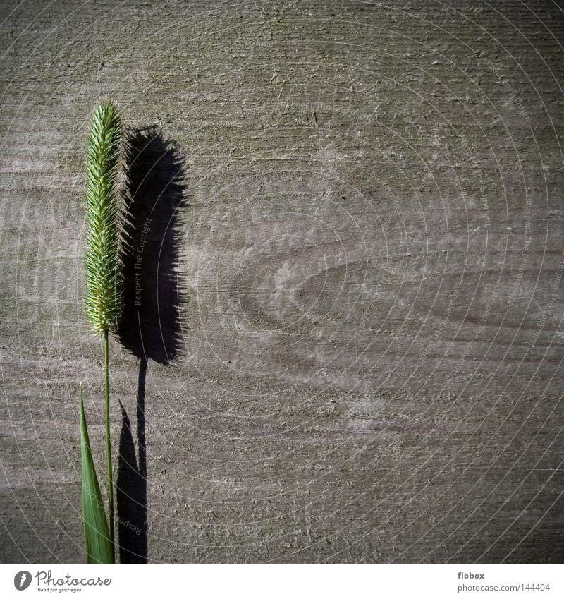 Gras II Natur grün Pflanze Sommer Einsamkeit Umwelt Wiese Gras Holz Blüte See Linie Hintergrundbild frisch Dekoration & Verzierung einzigartig