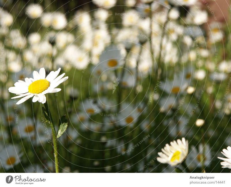 Blümchenzyklus II Sommer Gänseblümchen Blüte gelb weiß Wiese Sonne Tiefenunschärfe