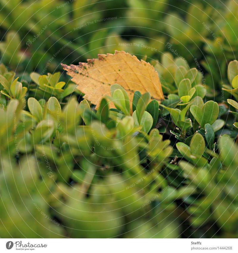 sanft gelandet auf der Hecke Herbstblatt herbstliche Impression Herbstlaub einfach Herbstgefühle Vergänglichkeit Oktober Herbstfärbung Stimmungsbild Traurigkeit