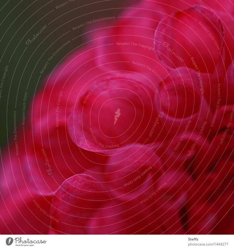 Dahlie IV Natur Pflanze schön Farbe Blume rot Blüte Garten Blühend Romantik Blütenblatt intensiv Dahlien
