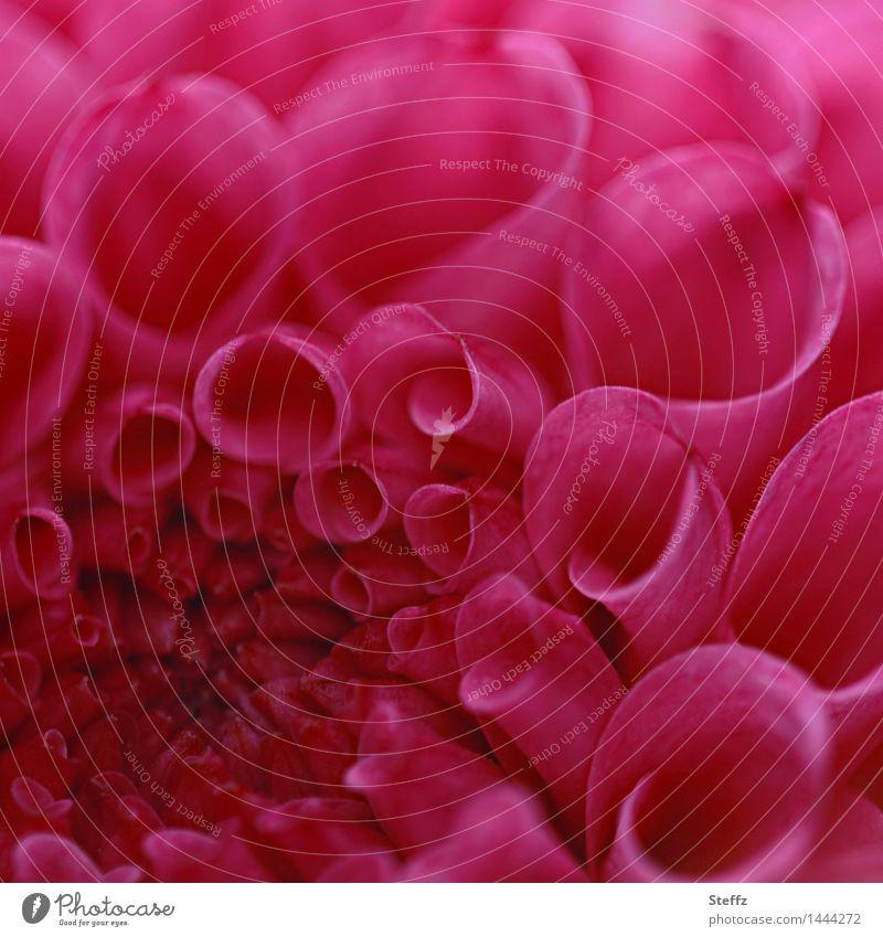 Dahlie ganz nah Dahlien Herbst Indian Summer Altweibersommer Blume Herbstbeginn Gartenblume Spätsommer Gartenpflanzen Blühend natürlich rosa rot Romantik