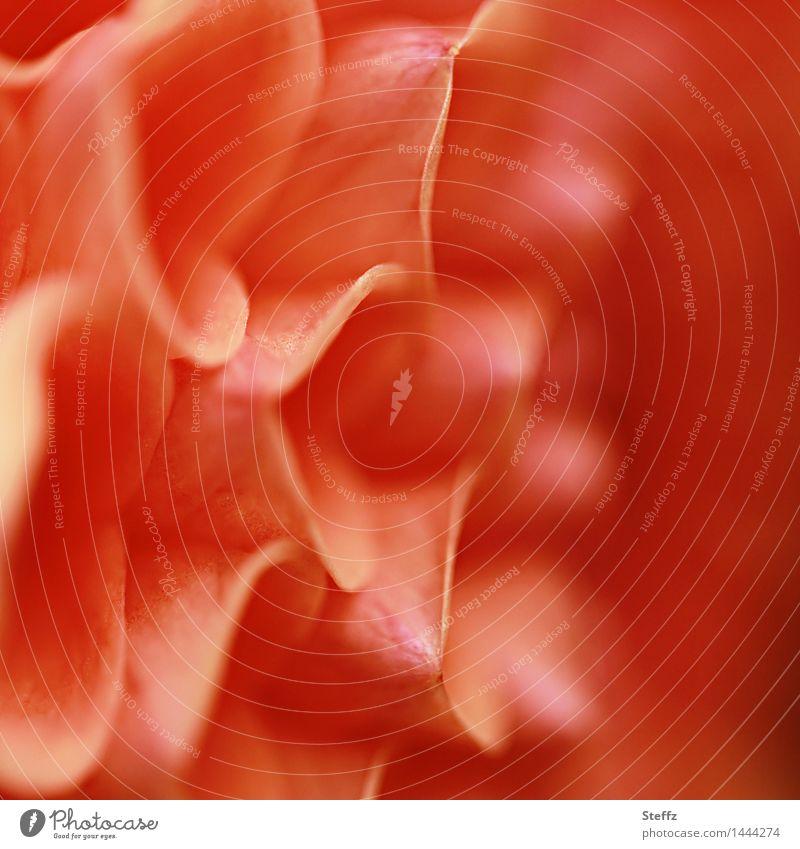 Dahlie ganz nah Dahlien Blume orange Gartenblume Pflanze Blütenblatt symmetrisch Gartenpflanzen Blühend natürlich Natur Sommergefühl Symmetrie Warme Farbe