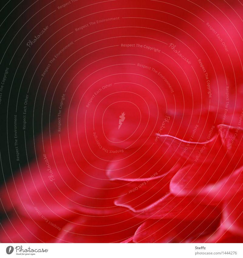 Dahlienblüte blühende Dahlie Georginen Schönheit rote Blume Blüte rote Blüte blühende Blume Herbstblüte Herbstblume Blütezeit rote Blütenblätter Oktober
