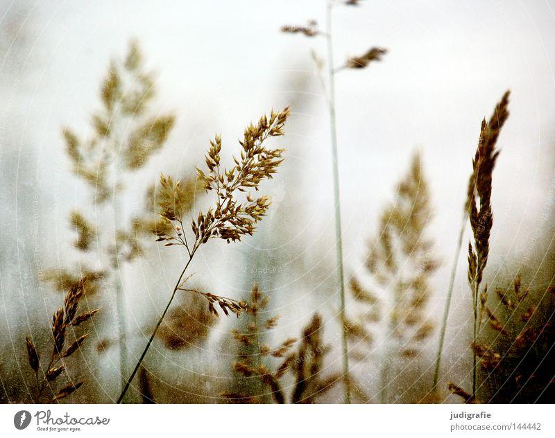 Gras schön Pflanze Sommer Farbe Wiese Gras glänzend weich Frieden zart Weide Stengel Halm sanft beweglich Pollen