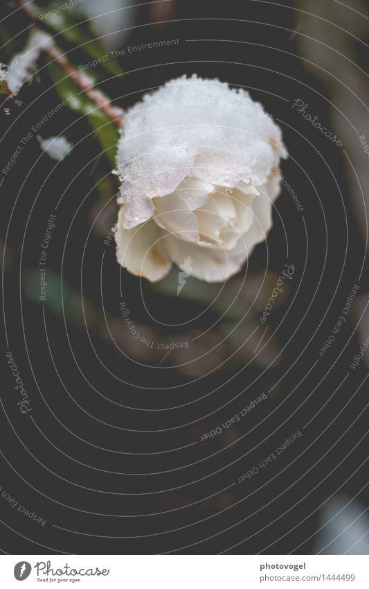 snow white Natur Pflanze Winter Schnee Blume Rose Blüte alt verblüht Duft kalt grün schwarz weiß Traurigkeit Sorge Trauer Vergänglichkeit Farbfoto