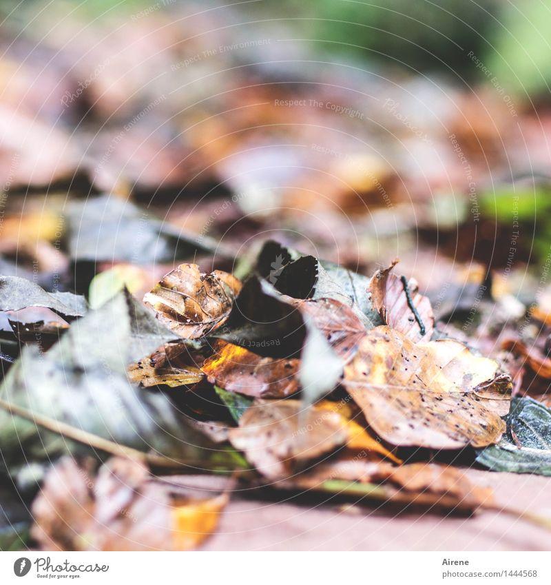 hingeblättert Herbst Blatt Herbstlaub Wald alt dreckig nass natürlich unten braun mehrfarbig grün Trauer Tod Senior Endzeitstimmung Natur Traurigkeit Verfall