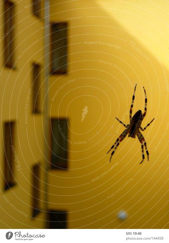 Auf der Lauer. ruhig Tier Haus gelb Fenster Wand Angst warten Fassade Geschwindigkeit gefährlich bedrohlich Netz beobachten Insekt Balkon