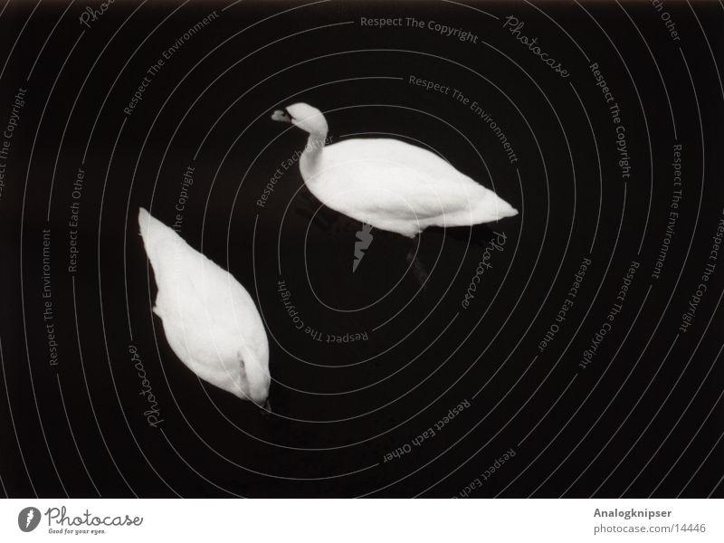 ... in schlechten Zeiten Wasser Liebe See Vogel Zusammensein Tierpaar paarweise Textfreiraum Teich Schwan zusammengehörig Vogelgrippe Vor dunklem Hintergrund