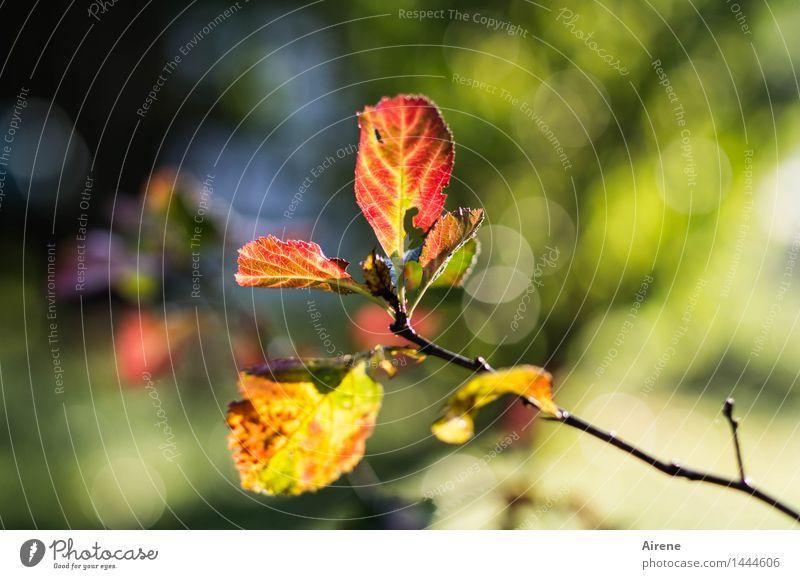 ein letztes Leuchten Natur Pflanze blau grün Farbe Baum rot Blatt Wald Herbst natürlich Garten Stimmung glänzend träumen leuchten