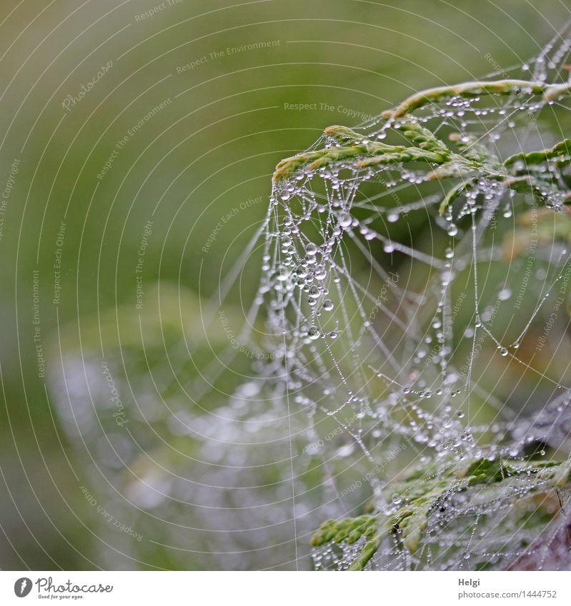 noch ein Netzwerk | Helgiland II Umwelt Natur Wassertropfen Herbst Nebel Pflanze Sträucher Moor Sumpf Spinnennetz hängen authentisch außergewöhnlich klein nass