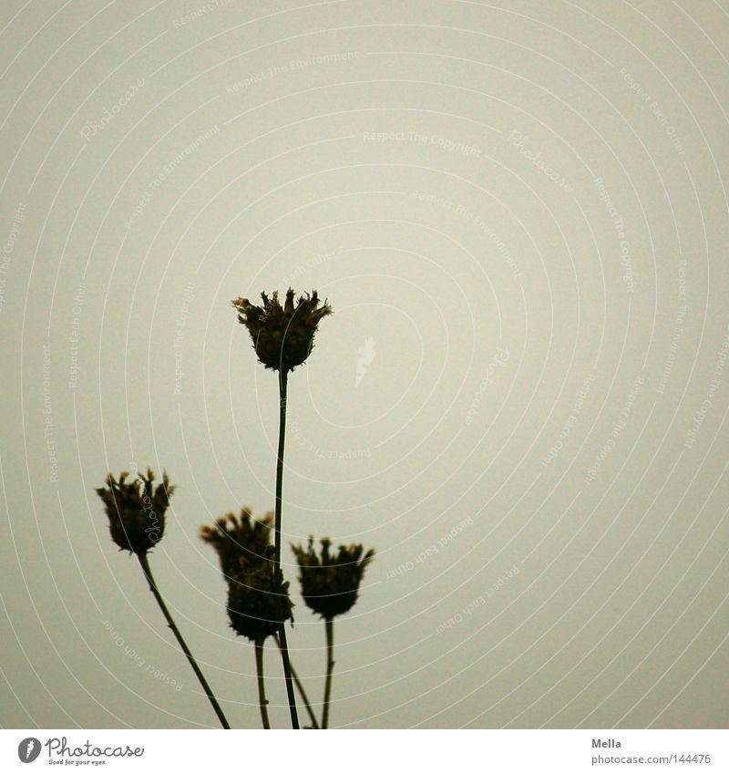 still Natur Blume Pflanze ruhig Herbst Blüte grau Umwelt trist Vergänglichkeit natürlich trocken vertrocknet trüb verblüht dehydrieren